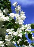 Bouganvillea branco Imagens de Stock Royalty Free