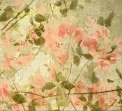 Bouganvillea do pêssego e da azeitona Foto de Stock