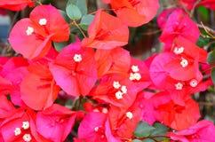 Bouganvillea Flower Stock Image