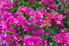 Bouganvillea flowers pattern. Detail of pink bouganvillea flowers Royalty Free Stock Image