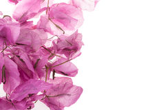 Bouganvillea flowers Royalty Free Stock Photography