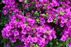 Bouganvillea Magnifica Traillii. The magnificent purple flower bracts of the bouganvillea magnifica traillii  cascade down in a weeping habit from the tall plant Royalty Free Stock Images