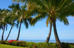 Bouganvillea and Palms. These are five palm trees with red bouganvillea adjacent to the beach in Lahaina Maui Stock Photos