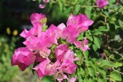 Bouganvillea rose Images libres de droits