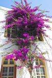 Bouganvillea. Royalty Free Stock Images