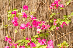 Bouganvillea on wood background Stock Image