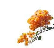 Bouganvillées oranges de floraison Photographie stock