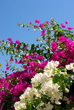 Bouganvillia Stockfoto