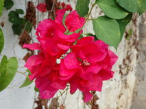 Bouganvillia in the caribbean Royalty Free Stock Image