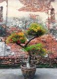 Bougaville树和砖墙 库存图片