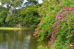 Bougaville flowers and green trees beside the pond. Pink and red bougaville flowers and green trees on the pond shore in the park royalty free stock photo