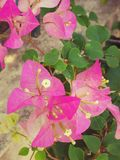 Bougavillea cor-de-rosa bonito Imagens de Stock Royalty Free
