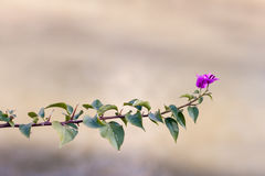 Bougenville flower with green leaves and blurred background. Minimalistic bougenville flower with green leaves and blurred background Stock Photos