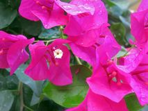 Bougenvillea flowers Stock Photography
