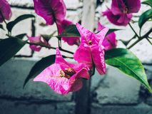 Bougenvillia blomma Arkivfoto