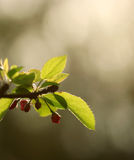 The bough of the cherry tree with flowers in the sunset Stock Image
