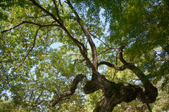 Bough of old willow tree Royalty Free Stock Photo