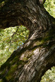 Bough of old willow tree Stock Image