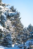 Bough of pine tree with snow. Bokeh, light day in winter. Bough of pine tree with snow. Bokeh, bright light day in winter Royalty Free Stock Image