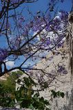Bough with purple blossoms. On the tree in Spain. Blue sky green leaves and wall background. East coast, Murcia region royalty free stock photography