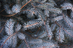 Boughs of fir Stock Photos