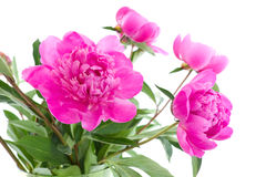 Bouguet of peony flowers Stock Photo