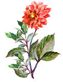 Bouguet red dahlia, watercolor Stock Photography