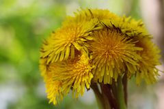 Bouguet of round shape of yellow dandelions close-up on a background forest in natural conditions with a blurred background. Bouguet of round shape of bright Royalty Free Stock Photo