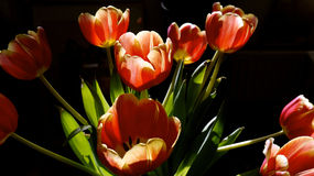 Easter bouquet of red tulips Royalty Free Stock Images