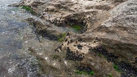 Boulder überwuchert mit Miesmuscheln stockbild