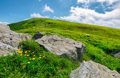 Boulder around dandelions on grassy hillside. Beautiful summer scenery of Carpathian mountains under the blue sky with clouds royalty free stock photo