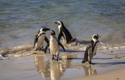 Boulder Beach. African Penguins at Boulder Beaach in Simon`s Town, South Africa Stock Image