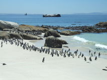 Boulder Beach Penguins Stock Image