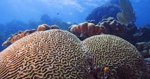 Boulder Brain Coral Royalty Free Stock Photos