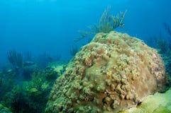 Boulder Coral Stock Photo