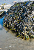 Boulder covered with bladderwrack stock photo