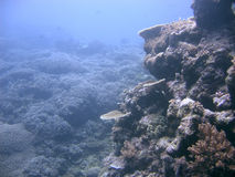 Boulder des coraux Images libres de droits