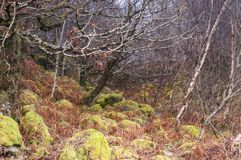 Boulder strewn woodland. A close up image of a thickly wooded bank on the Ardnamurchan peninsula in Lochaber, Scotland. 24 December 2017 Stock Photo