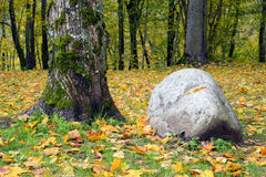 Boulder and a tree in the forest Royalty Free Stock Image