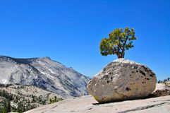 Boulder and tree in Yosmite National Park Royalty Free Stock Photography