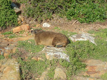 Boulders Beach marmot. Marmot from Boulders Beach in Cape Peninsula South Africa Royalty Free Stock Photo