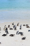 Boulders Beach, Penguin Colonies, Cape Town Stock Image
