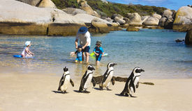 Boulders Beach Penguins Royalty Free Stock Image