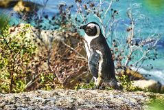 Penguins in boulder& x27;s beach cape-town south-africa with seaside. Boulders Beach is a sheltered beach made up of inlets between granite boulders, from which royalty free stock images