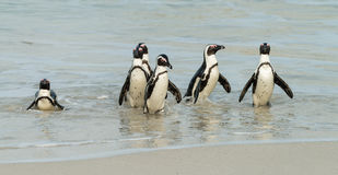 Boulders Beach in Simonstown South Africa with Penguins Stock Photo