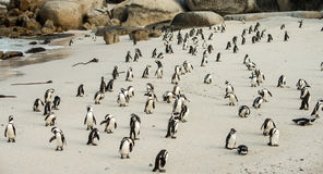 Boulders Beach in Simonstown South Africa with Penguins Royalty Free Stock Photo