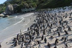Boulders Beach - A unique Penguin beach in Cape Town South Afric. A. One can see a huge Penguin colony on this beach in Cape Town along Atlantic Ocean Royalty Free Stock Photos