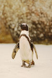 Boulders Penguin Stock Image