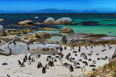 Boulders Penguin Colony Stock Photography