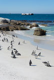 Boulders penquin colony at Simonstown Royalty Free Stock Photos